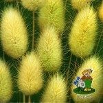 Зайцехвост (сухоцвет)